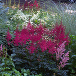 Spiraea Astilbe 'Fanal' (Container plant)