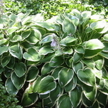 Hosta Francee - Plantain lily (Pot plant)
