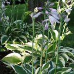 White Hosta Patriot (Pot plant)
