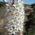 Urginea Maritima - Sea Onion