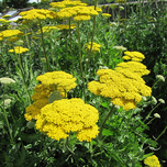 Yarrow 'Cloth of Gold' (Pot plant)