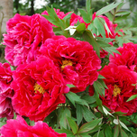 Peonyrose Red (Pot Plant)