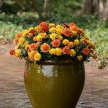 French Marigold Strawberry Blonde F1 - Tagetes