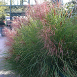 Chinese Silver Grass 'Gracillimus' (Miscanthus)