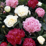 Peony Mixed: white, red and pink - Paeonia