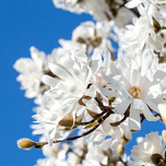 The Star Magnolia (Magnolia Stellata)
