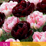 Tulipa Sweet Desire Mix