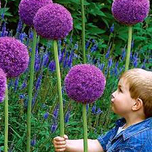 Allium Gladiator (Large Pack)