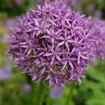 Alliums Aflatunense (Large Pack)