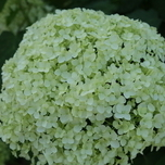 Hortensia (Hydrangea) Annabelle White (Container Plant)
