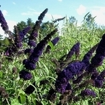 Butterfly bush Black Knight - Buddleja