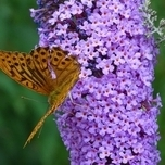 Butterfly-bush Blue Chip - Buddleja