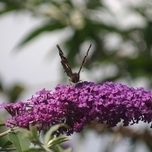 Butterfly-bush Empire Blue - Buddleja