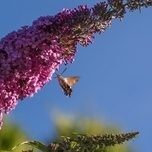 Butterfly bush Ile de France - Buddleja