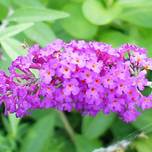 Buddleja Davidii Lilac Chip tuincentrum koeman