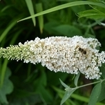 Butterfly bush White Profusion - Buddleja