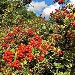 Bearberry Coral Beauty - Cotoneaster