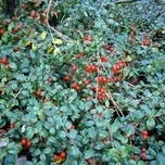 Gaultheria Procumbens tuincentrum koeman