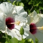 Rose Mallow Red Heart