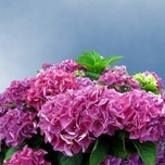 Hortensia Bouquet Rose