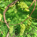 Grape Bianca - Vitis Vinifera