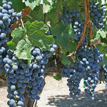 Grape Boskoop Glory - Vitis Vinifera