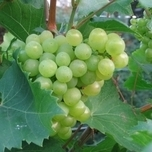 Grape Vroege van der Laan - Vitis Vinifera