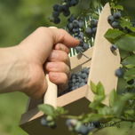 De Wiltfang Blueberry Picker