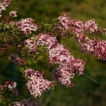 Syringa Microphylla 'Superba' Tuincentrum Koeman