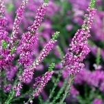 Common Heather (Calluna) (Six-pack)