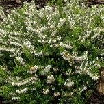 Winter Heather (Erica) 'White Perfection'(Six-pack)