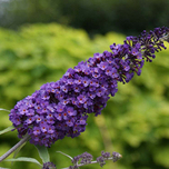 Butterfly bush Purple Emperor - Buddleja