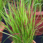 Japanese Blood Grass Red Baron - Imperata cylindrica (Six-pack)
