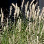 Pennisetum Alopecuroides Hameln (Six-pack)