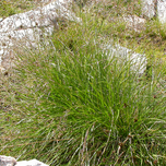 Tufted Hair Grass 'Goldschleier' (Six-pack)