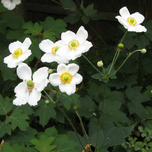 Japanese anemone 'Honorine Jobert' (Anemone) (Six-pack)