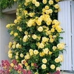 Climbing Rose Golden Climber