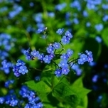 Great forget-me-not 'Jack Frost' (Brunnera Macrophylla)