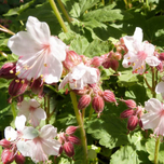 1431510430Geranium_macr.___Spessart___flickr_part tuincentrum koeman