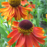 Helenium 'Moerheim Beauty' (Pot plant) (Six-pack)