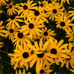 Orange Coneflower 'Goldsturm' (Rudbeckia Fulgida) (Six-pack)