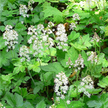 Heartleaved Foamflower (Tiarella cordifolia) (Six-pack)
