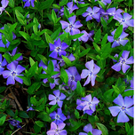 Common Periwinkle (Vinca minor) (Six-pack)