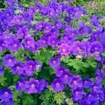 Cranesbill Johnson's Blue - Geranium (Six-pack)