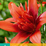 Lilium Doubleflowering Red Twin