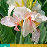 Canna Mini White Confetti