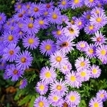 aster alpinus blue tuincentrum koeman