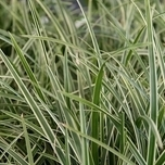 Ornamental Grass Sedge 'Ice Dance' (Carex)