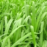 Ornamental Grass Sedge 'Irish Green' (Carex) (Six-pack)