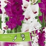 Gladiolus Perfect Partners